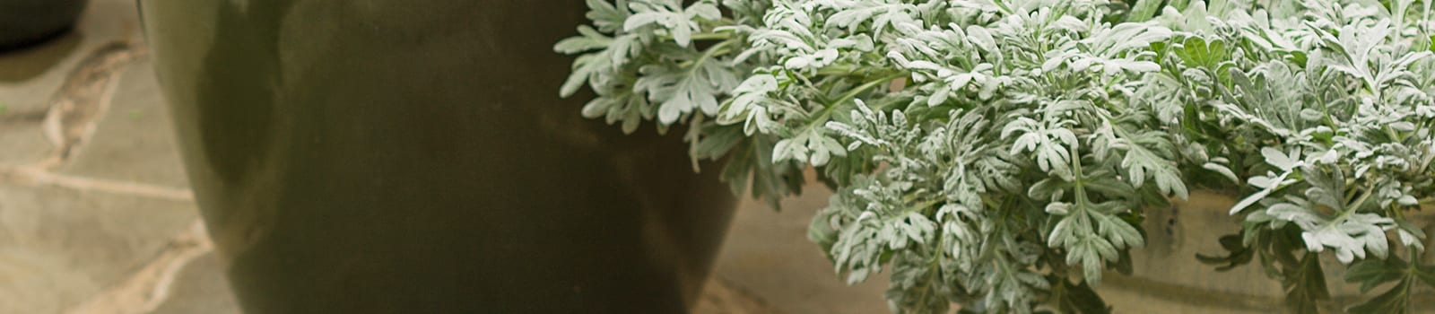 Proven Winners® Artemisia® from Sobkowich Greenhouses