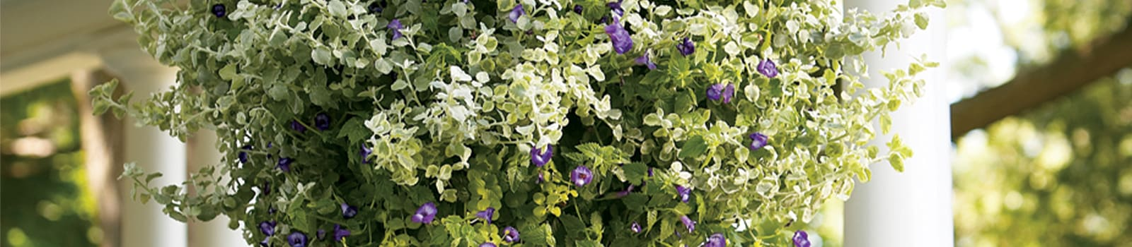 Proven Annuals® Angelonia Angelface® from Sobkowich Greenhouses
