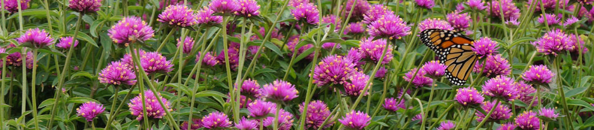 Proven Winners® Gomphrena Truffula® from Sobkowich Greenhouses