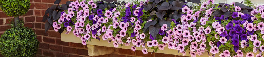 Proven Winners® Petunia Supertunia® from Sobkowich Greenhouses